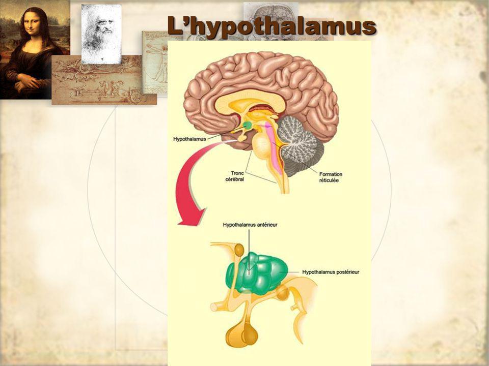 LhypothalamusLhypothalamus