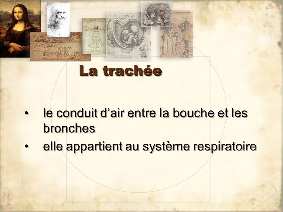 La trachée le conduit dair entre la bouche et les bronches elle appartient au système respiratoire le conduit dair entre la bouche et les bronches ell