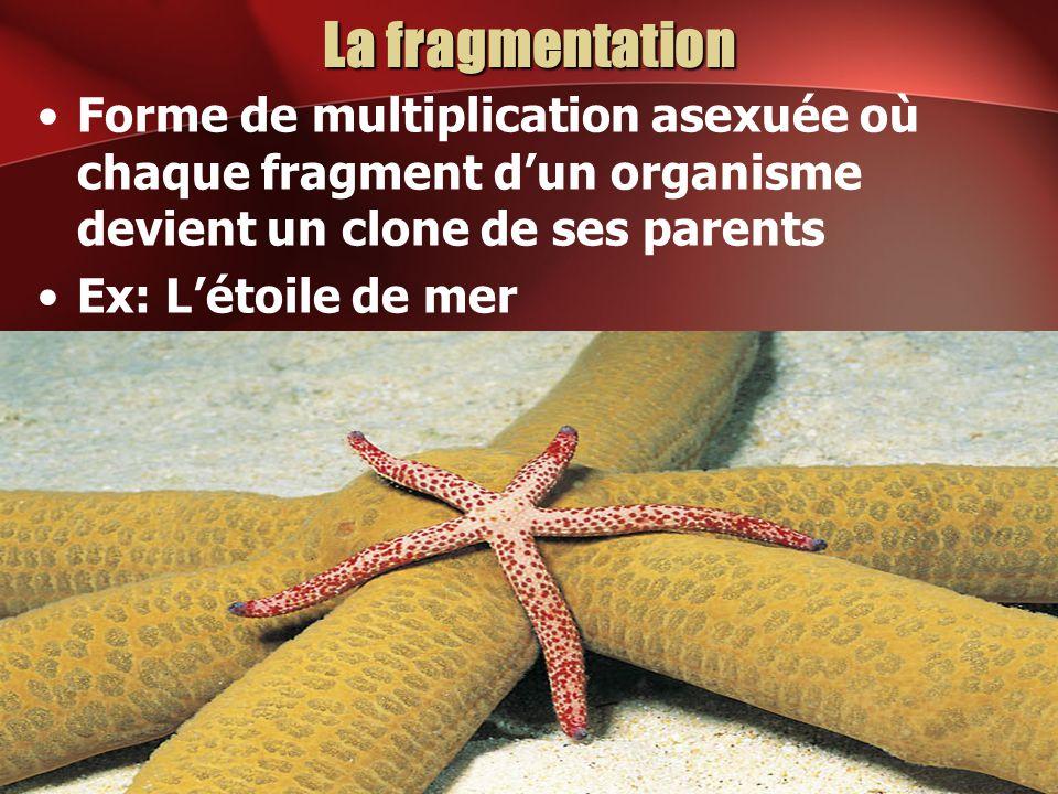 La fragmentation Forme de multiplication asexuée où chaque fragment dun organisme devient un clone de ses parents Ex: Létoile de mer