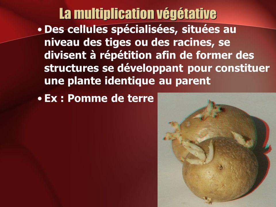 La multiplication végétative Des cellules spécialisées, situées au niveau des tiges ou des racines, se divisent à répétition afin de former des struct