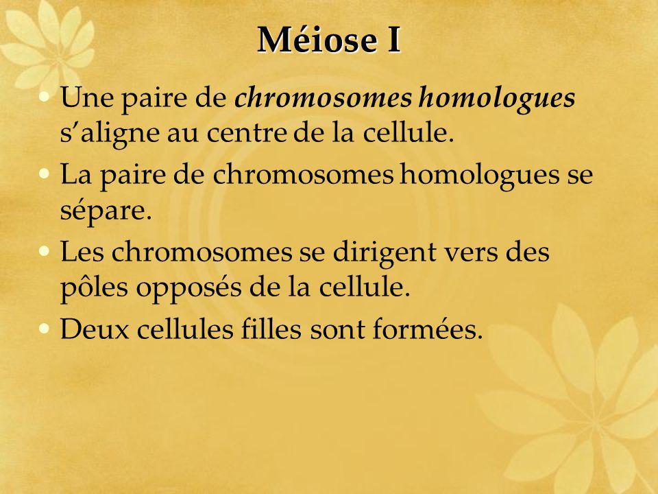 Méiose I Une paire de chromosomes homologues saligne au centre de la cellule. La paire de chromosomes homologues se sépare. Les chromosomes se dirigen
