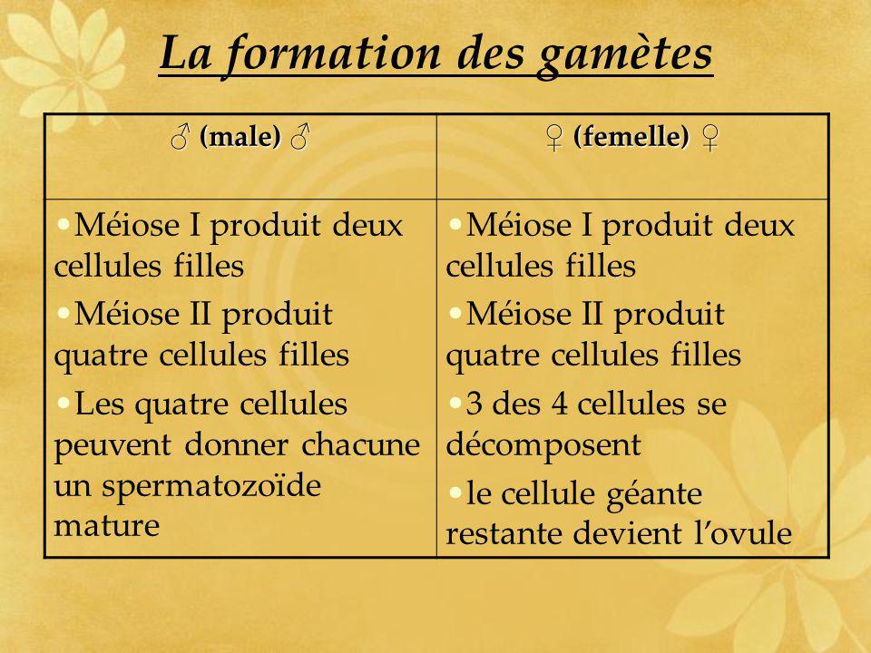 La formation des gamètes (male) (male) (femelle) (femelle) Méiose I produit deux cellules filles Méiose II produit quatre cellules filles Les quatre c