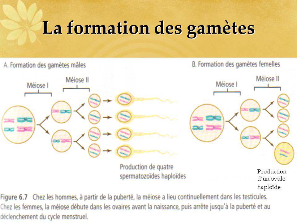 La formation des gamètes Production dun ovule haploïde