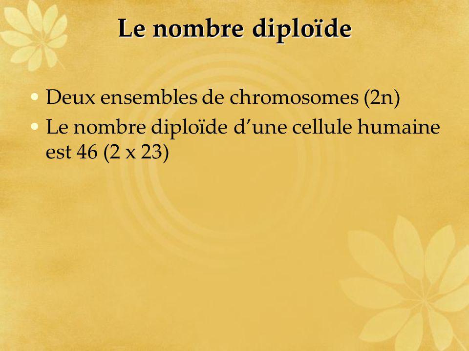 Le nombre diploïde Deux ensembles de chromosomes (2n) Le nombre diploïde dune cellule humaine est 46 (2 x 23)