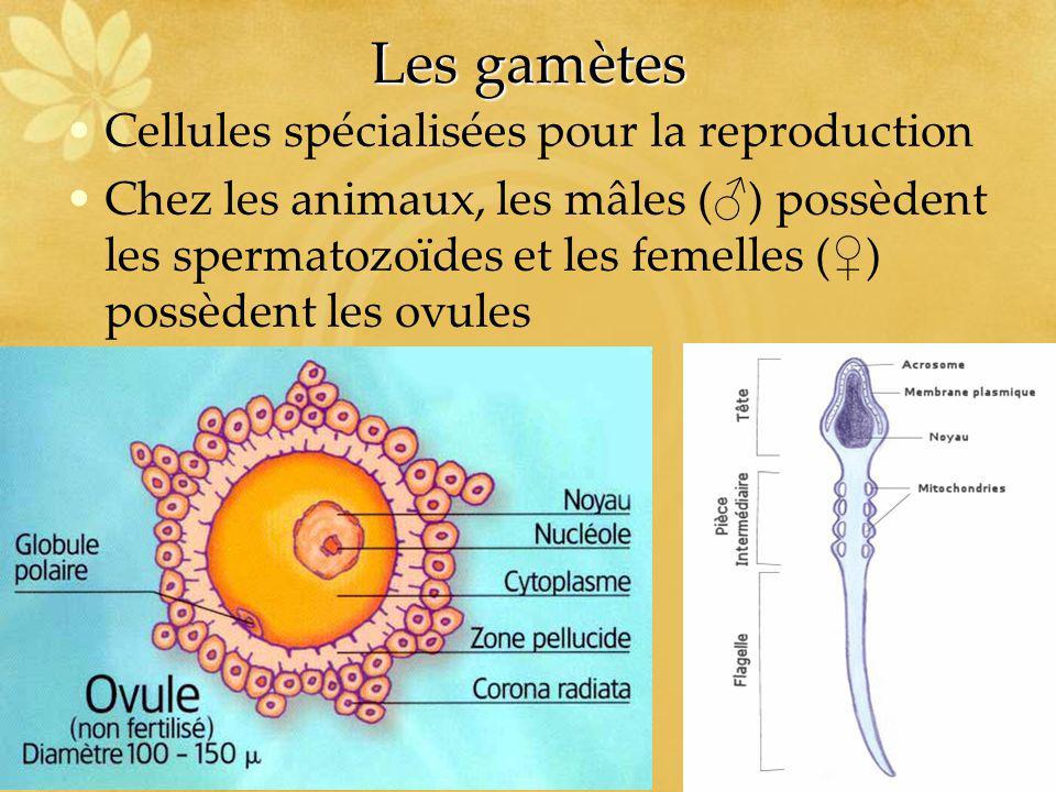 Les gamètes Cellules spécialisées pour la reproduction Chez les animaux, les mâles ( ) possèdent les spermatozoïdes et les femelles ( ) possèdent les