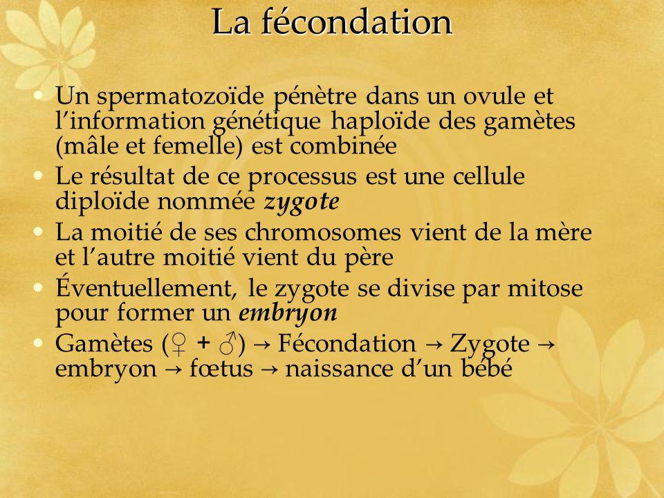 La fécondation Un spermatozoïde pénètre dans un ovule et linformation génétique haploïde des gamètes (mâle et femelle) est combinée Le résultat de ce