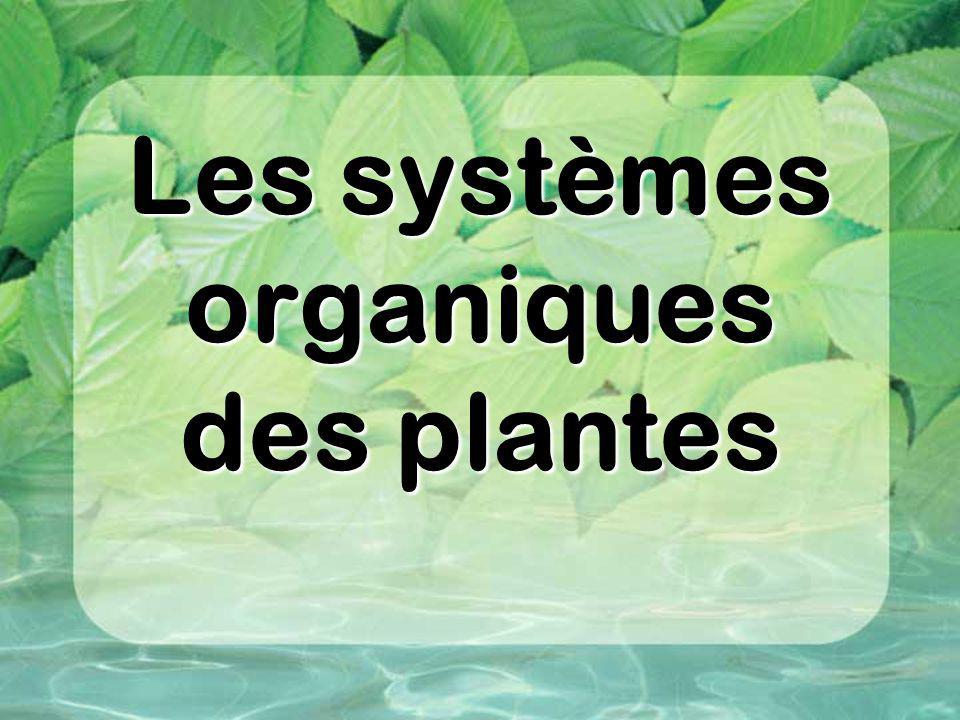 Le système radiculaire (racines) système qui se retrouve sous la terre