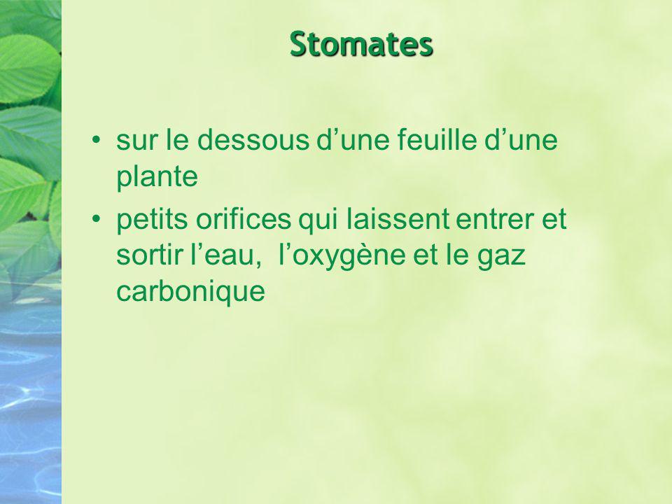 Stomates sur le dessous dune feuille dune plante petits orifices qui laissent entrer et sortir leau, loxygène et le gaz carbonique
