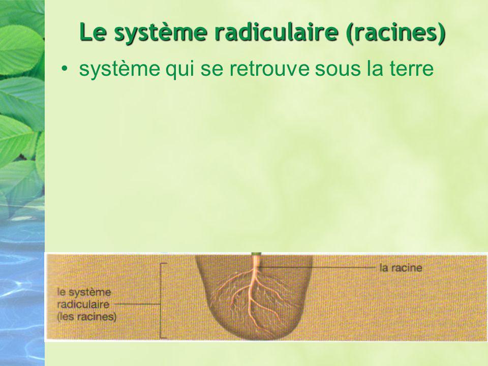 Le système foliacé (tiges et feuilles) système qui est hors de la terre