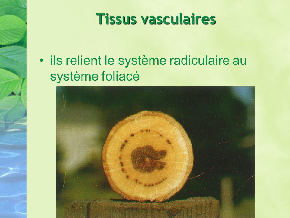Tissus vasculaires ils relient le système radiculaire au système foliacé