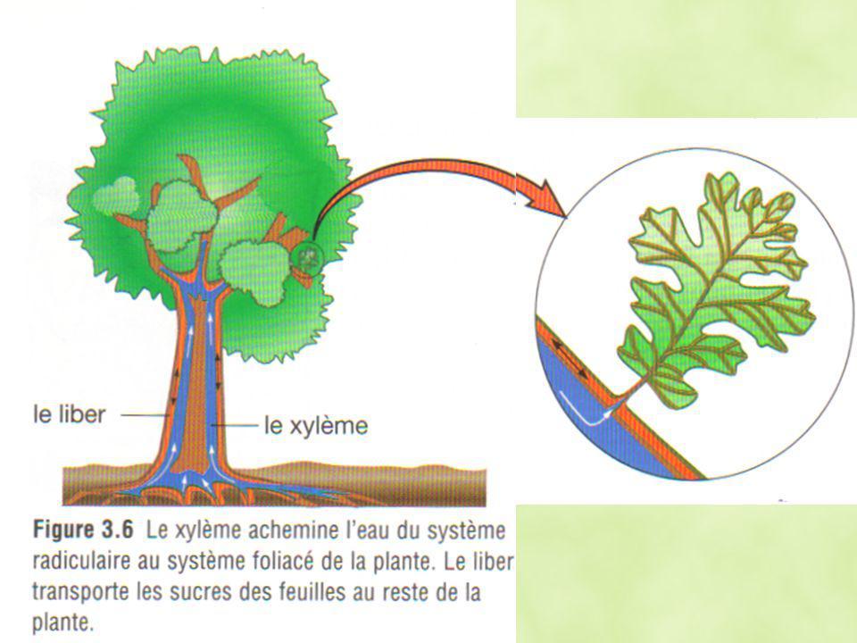 Cellules de garde dans la feuille, les cellules qui entourent un stomate peuvent se dilater pour enfermer la stomate Cellules de garde