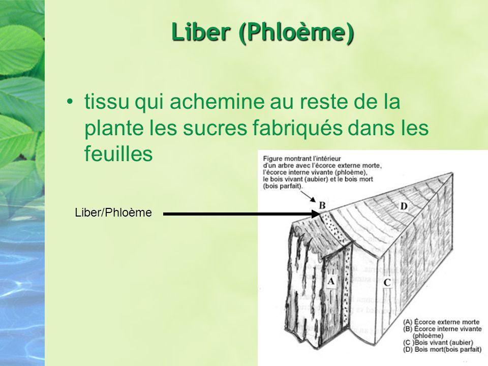 Liber (Phloème) tissu qui achemine au reste de la plante les sucres fabriqués dans les feuilles Liber/Phloème
