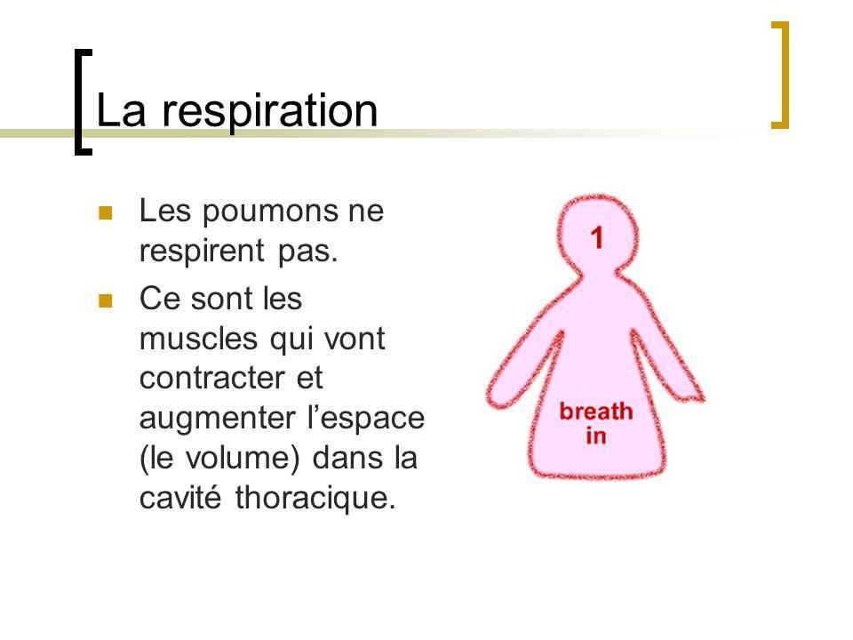 La respiration Les poumons ne respirent pas. Ce sont les muscles qui vont contracter et augmenter lespace (le volume) dans la cavité thoracique.