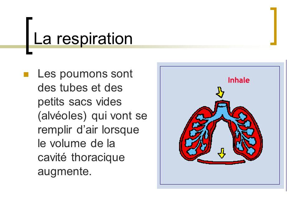 La respiration Les poumons sont des tubes et des petits sacs vides (alvéoles) qui vont se remplir dair lorsque le volume de la cavité thoracique augmente.