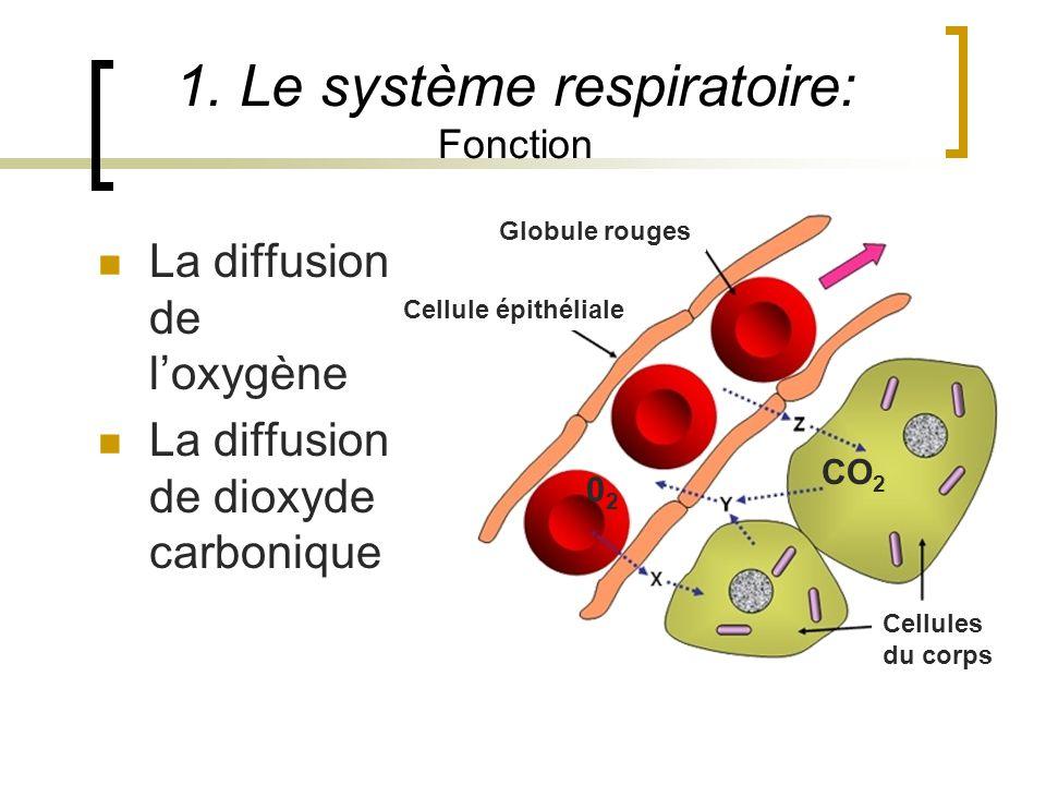 1. Le système respiratoire: Fonction La diffusion de loxygène La diffusion de dioxyde carbonique Globule rouges Cellule épithéliale Cellules du corps