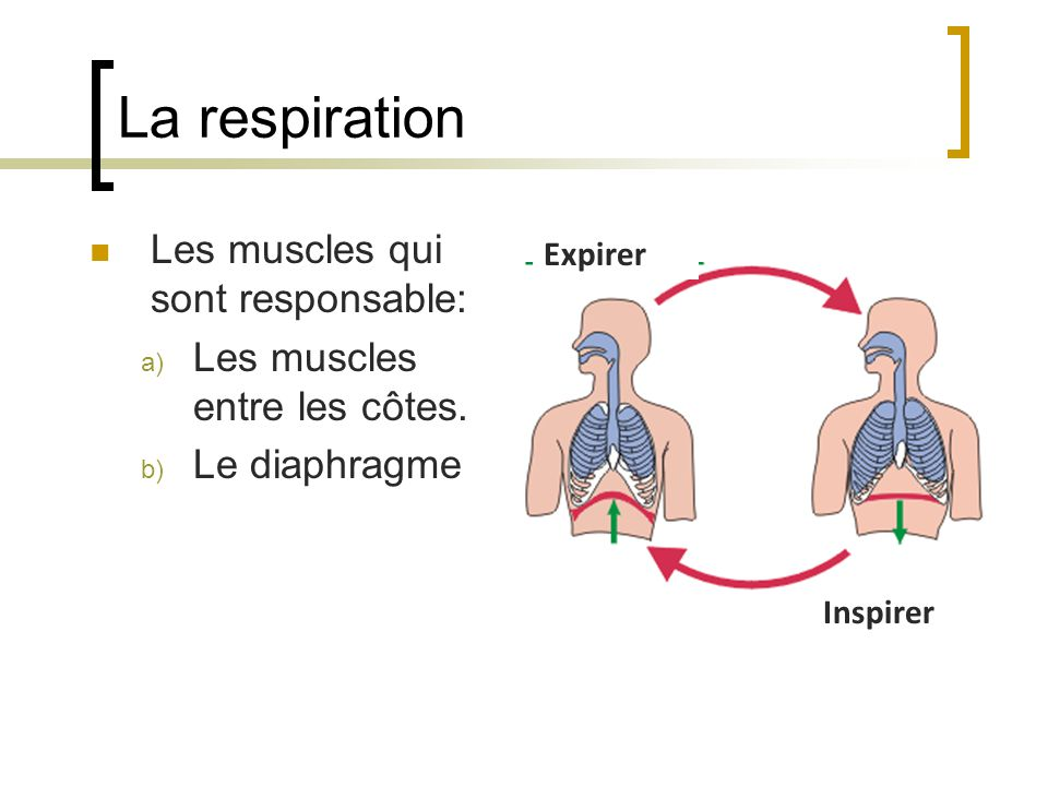 La respiration Les muscles qui sont responsable: a) Les muscles entre les côtes. b) Le diaphragme Inspirer Expirer