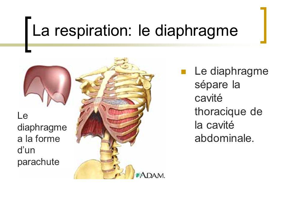 La respiration: le diaphragme Le diaphragme a la forme dun parachute Le diaphragme sépare la cavité thoracique de la cavité abdominale.