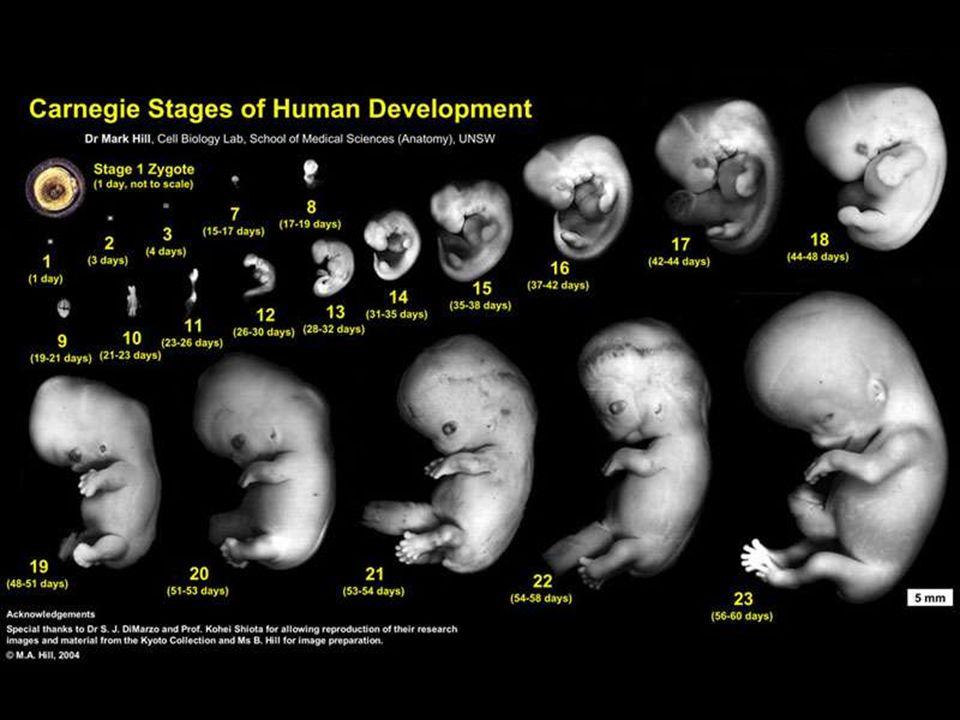 Le premier trimestre : le développement des organes o Tous les organes commencent à se développer o 4 semaines cerveau et moelle épinière se développent o 8 semaines cellules des os se forment lembryon est appelé fœtus o 12 semaines les organes sont formés o À la fin de ce trimestre fœtus a une masse de 28g et mesure 9cm