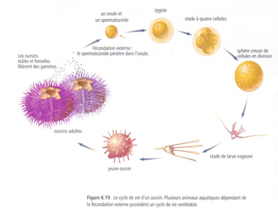 La fécondation interne Fécondation durant laquelle des spermatozoïdes sont déposés dans le corps de la femelle où ils rencontreront les ovules