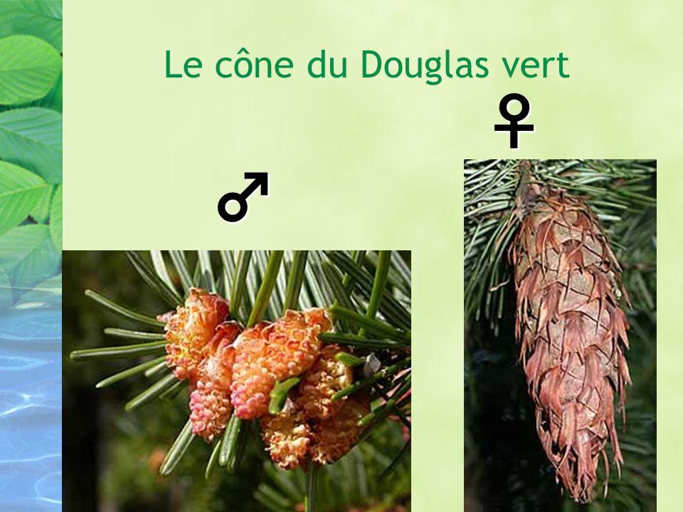 Le cône du Douglas vert