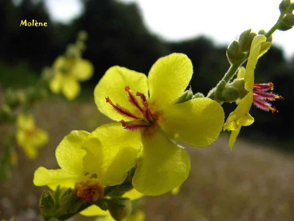 Clématite vigne vierge