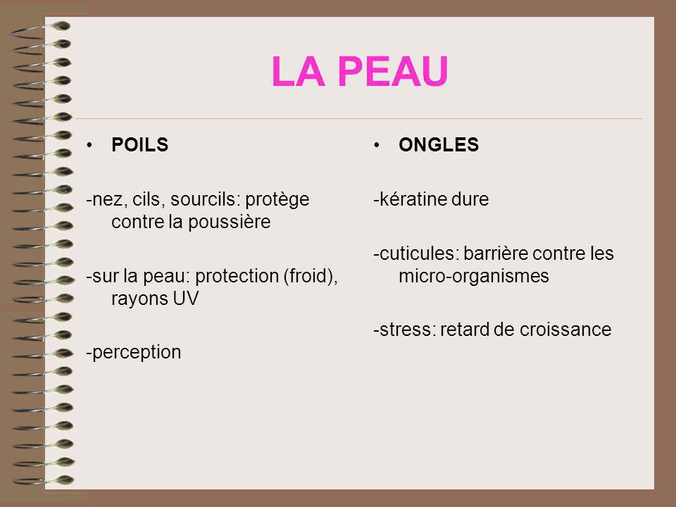 LA PEAU POILS -nez, cils, sourcils: protège contre la poussière -sur la peau: protection (froid), rayons UV -perception ONGLES -kératine dure -cuticul