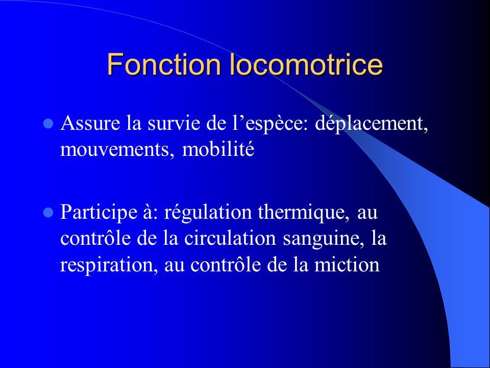 Fonction locomotrice Assure la survie de lespèce: déplacement, mouvements, mobilité Participe à: régulation thermique, au contrôle de la circulation s