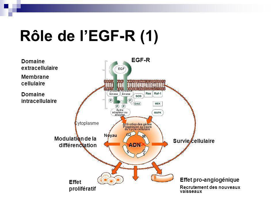 Modulation de la différenciation Survie cellulaire Effet prolifératif Effet pro-angiogénique Recrutement des nouveaux vaisseaux Domaine intracellulaire Membrane cellulaire Domaine extracellulaire Cytoplasme Noyau Activation des gènes Progession au cours du cycle cellulaire Tyrosine kinase Autre adapteur ou enzyme ADN EGF EGF-R G2 M G1G1 S Tyrosine kinase Rôle de lEGF-R (1)