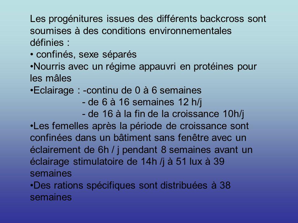 Les progénitures issues des différents backcross sont soumises à des conditions environnementales définies : confinés, sexe séparés Nourris avec un ré
