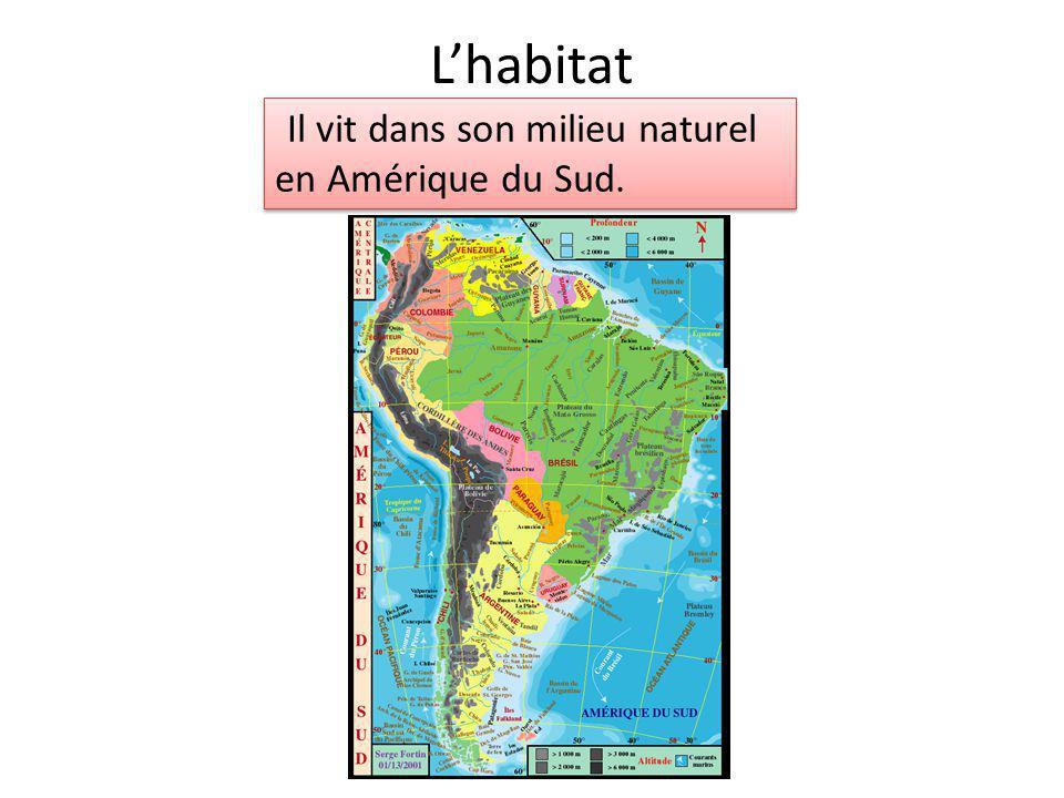 Lhabitat Il vit dans son milieu naturel en Amérique du Sud.