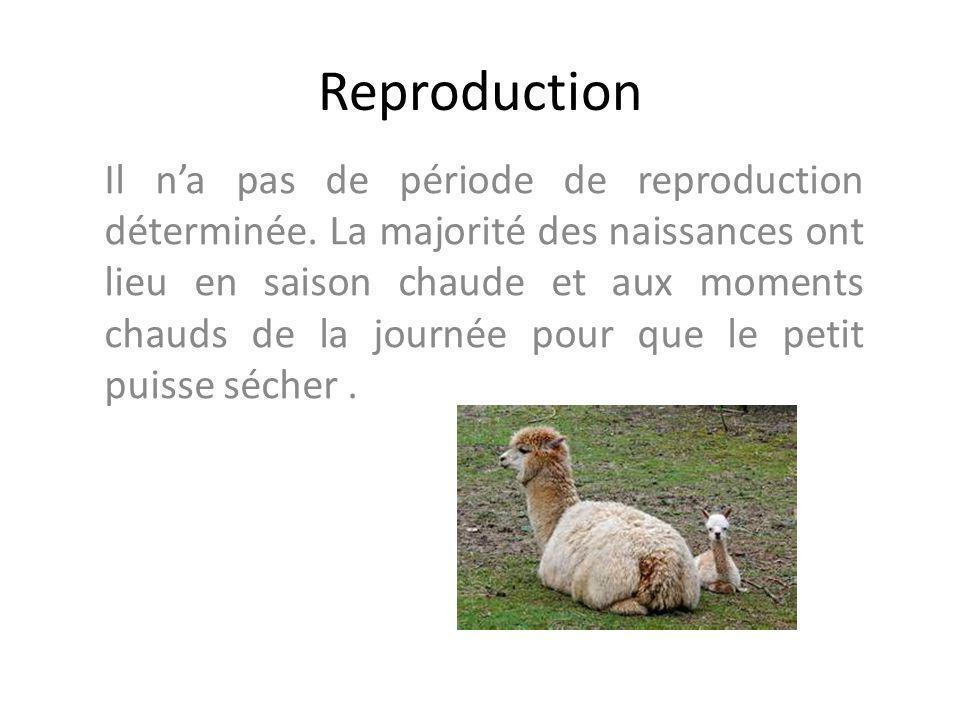 Reproduction Il na pas de période de reproduction déterminée. La majorité des naissances ont lieu en saison chaude et aux moments chauds de la journée