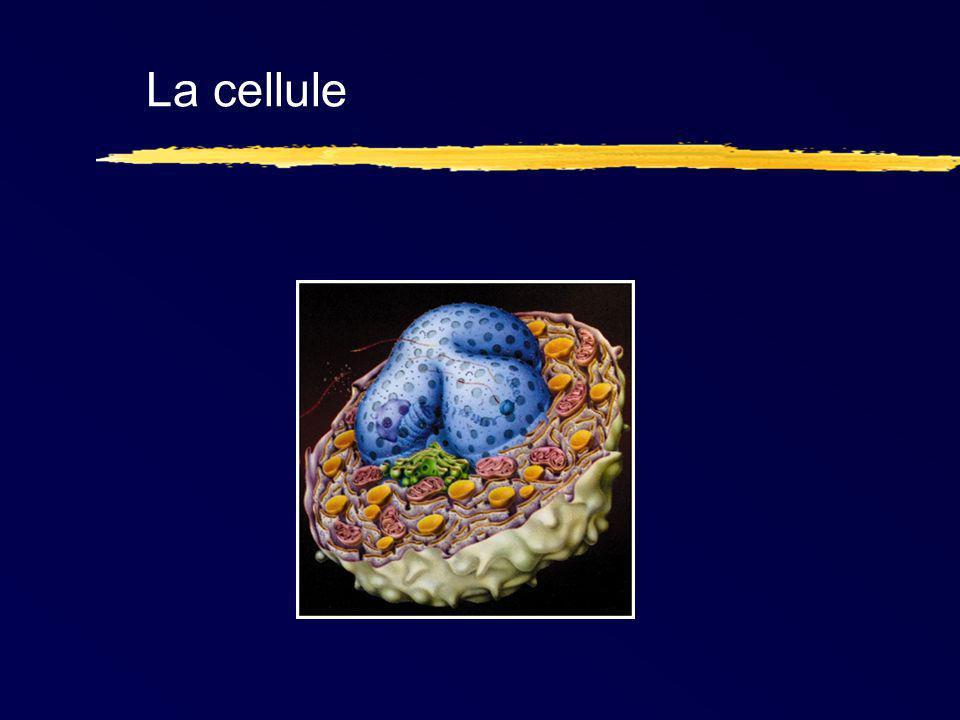 Rôle des filaments intermédiaires le maintien de l intégrité physique des cellules la stabilité mécanique des interactions cellule-cellule l organisation et la structuration de la chromatine.
