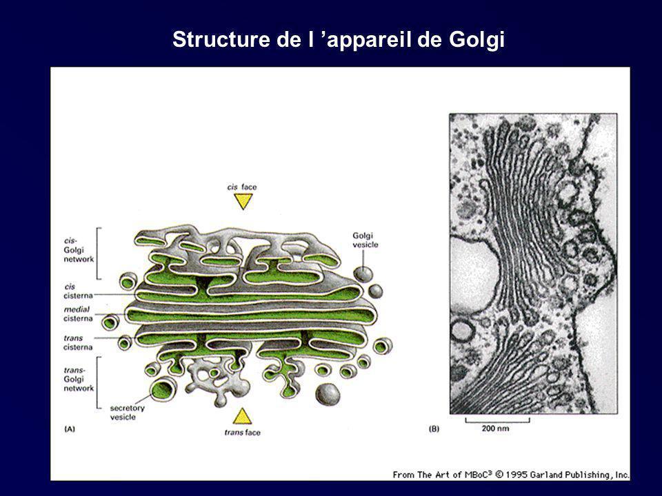 Structure de l appareil de Golgi