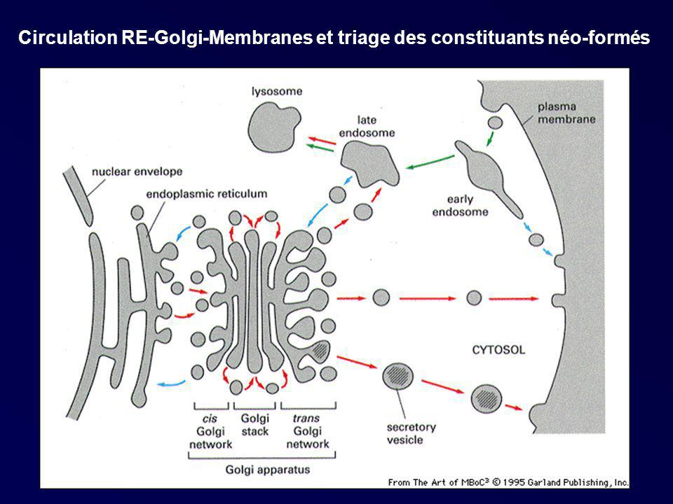 Circulation RE-Golgi-Membranes et triage des constituants néo-formés