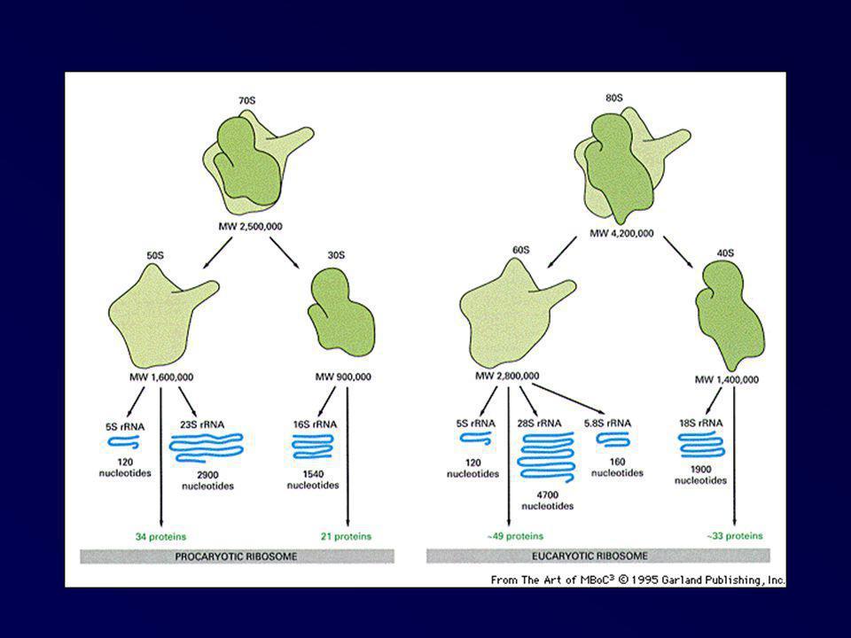 Synthèse de protéines membranaires ou sécrétoires