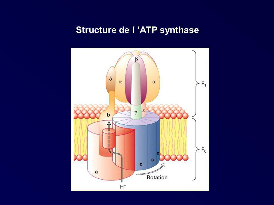 Structure de l ATP synthase