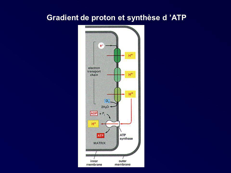 Gradient de proton et synthèse d ATP