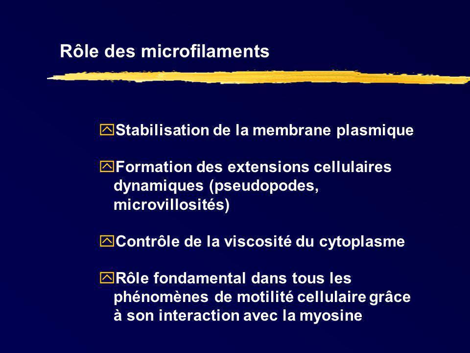 Rôle des microfilaments Stabilisation de la membrane plasmique Formation des extensions cellulaires dynamiques (pseudopodes, microvillosités) Contrôle