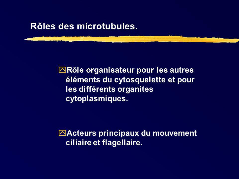 Rôles des microtubules. Rôle organisateur pour les autres éléments du cytosquelette et pour les différents organites cytoplasmiques. Acteurs principau