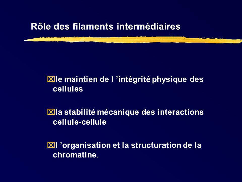 Rôle des filaments intermédiaires le maintien de l intégrité physique des cellules la stabilité mécanique des interactions cellule-cellule l organisat