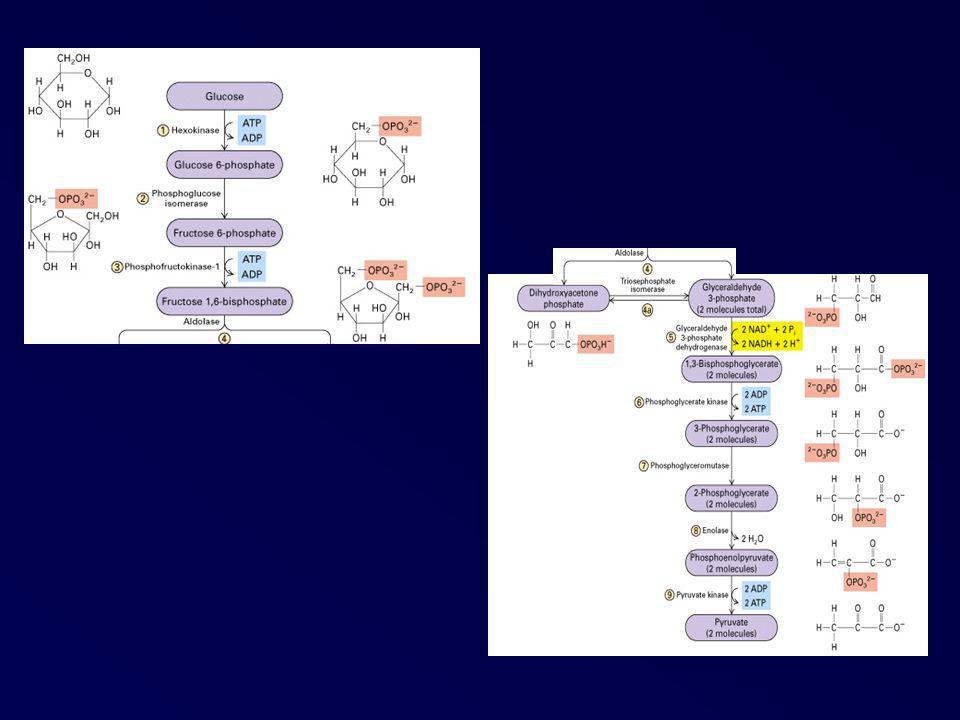 Rôle des microfilaments Stabilisation de la membrane plasmique Formation des extensions cellulaires dynamiques (pseudopodes, microvillosités) Contrôle de la viscosité du cytoplasme Rôle fondamental dans tous les phénomènes de motilité cellulaire grâce à son interaction avec la myosine
