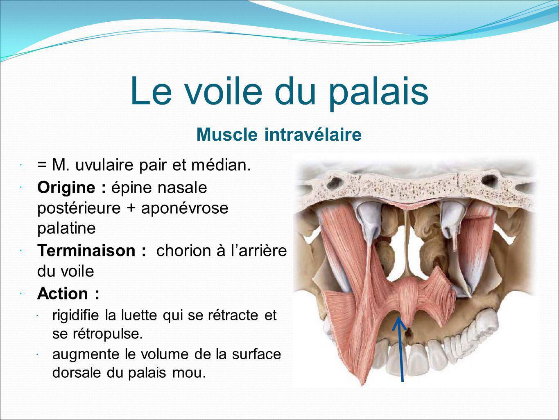 Le voile du palais Muscle intravélaire = M. uvulaire pair et médian. Origine : épine nasale postérieure + aponévrose palatine Terminaison : chorion à