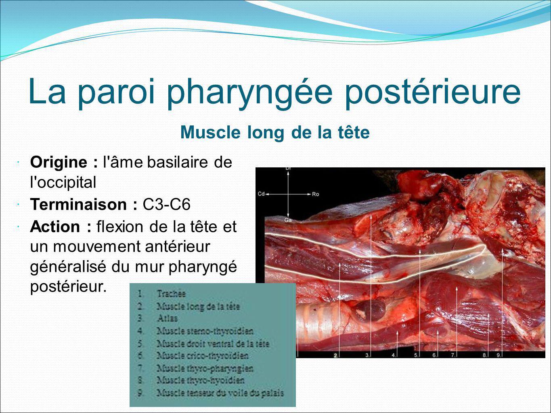 La paroi pharyngée postérieure Muscle long de la tête Origine : l'âme basilaire de l'occipital Terminaison : C3-C6 Action : flexion de la tête et un m