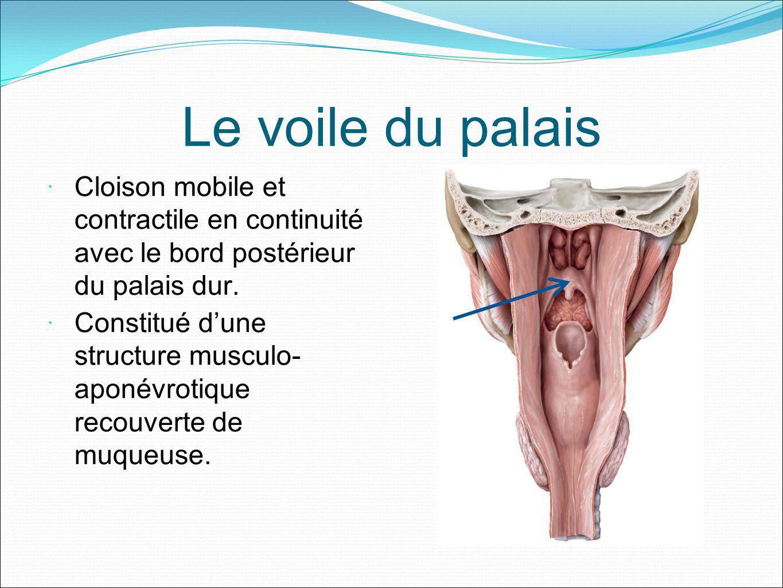 Le voile du palais Cloison mobile et contractile en continuité avec le bord postérieur du palais dur. Constitué dune structure musculo- aponévrotique