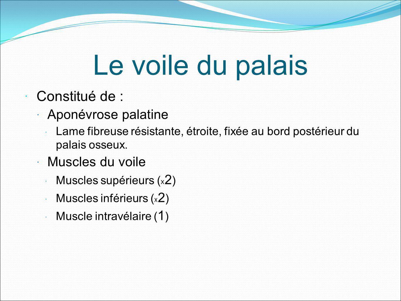 Le voile du palais Constitué de : Aponévrose palatine Lame fibreuse résistante, étroite, fixée au bord postérieur du palais osseux. Muscles du voile M
