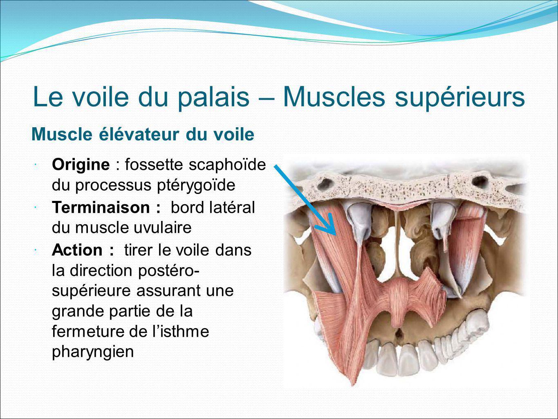 Le voile du palais – Muscles supérieurs Muscle élévateur du voile Origine : fossette scaphoïde du processus ptérygoïde Terminaison : bord latéral du m