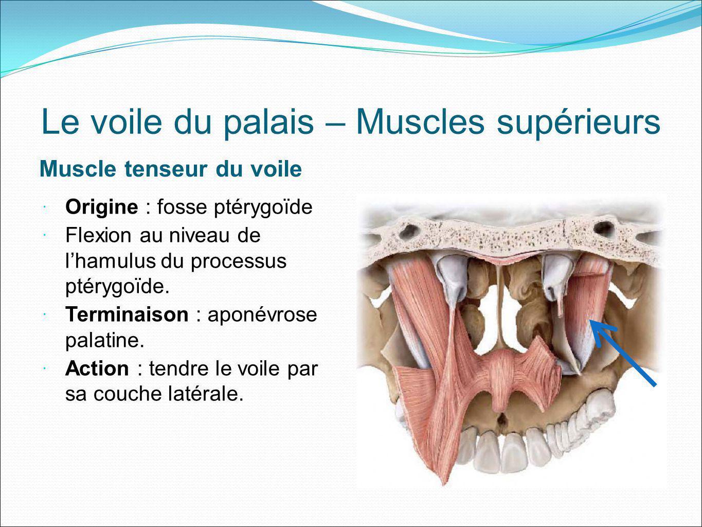 Le voile du palais – Muscles supérieurs Muscle tenseur du voile Origine : fosse ptérygoïde Flexion au niveau de lhamulus du processus ptérygoïde. Term