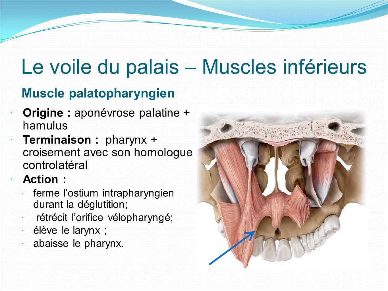 Le voile du palais – Muscles inférieurs Muscle palatoglosse Origine : aponévrose palatine Terminaison : La langue Action : élever la racine de la langue et rétrécir listhme du gosier.