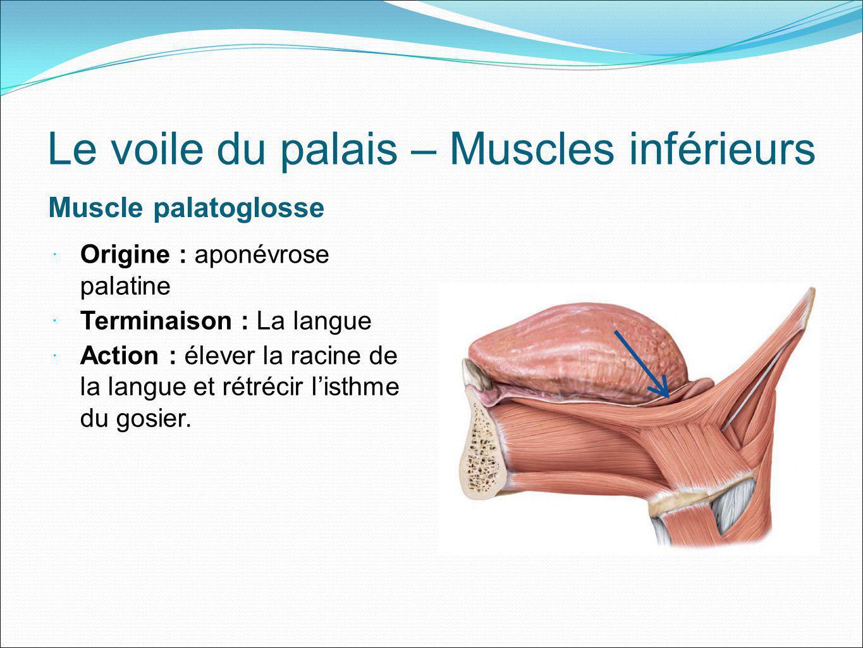 Le voile du palais – Muscles inférieurs Muscle palatoglosse Origine : aponévrose palatine Terminaison : La langue Action : élever la racine de la lang