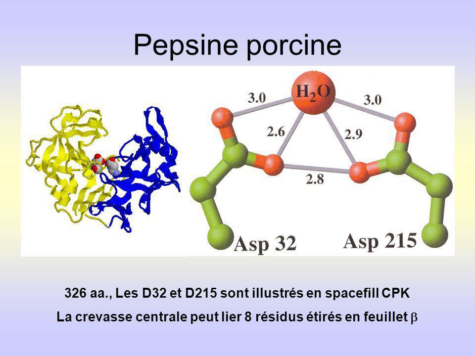 Pepsine porcine 326 aa., Les D32 et D215 sont illustrés en spacefill CPK La crevasse centrale peut lier 8 résidus étirés en feuillet